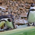 3 little penguins - emotionsLess Image